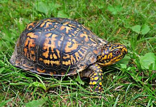 box-turtle-wildlife-animal-reptile-159758.jpeg