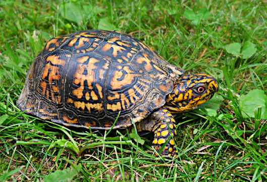 box-turtle-wildlife-animal-reptile-159758.jpeg